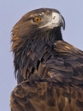 Golden Eagle Head Showing its Eye and Bill, Aquila Chrysaetos, North America Photographic Print by Jack Michanowski