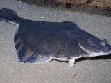 Starry Flounder, Platichthys Stellatus, California, USA Photographic Print by Daniel Gotshall
