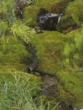 Mosses and Horsetails Along a Small Alaskan Brook, USA Fotografie-Druck von Walt Anderson