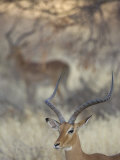 Male Impala Head, Aepyceros Melampus, Kenya, Africa Fotografisk tryk af Arthur Morris