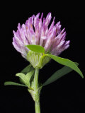 Red Clover Flower Photographic Print by Solvin Zankl