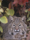 Bobcat Face (Lynx Rufus), North America Photographic Print by Tom Walker