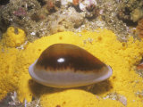 Chestnut Cowry (Cypraea Spadicea), Southern California, Usa, Pacific Ocean Photographic Print by Richard Herrmann