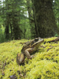 Red-Legged Frog, Rana Aurora, Olympic National Park, Washington, USA Photographic Print by Joe McDonald