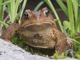 American Toad (Bufo Americanus), North America Fotografisk tryk af Adam Jones