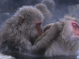 Snow Monkeys Grooming While Soaking in a Hot Spring (Macaca Fuscata), Japan, Asia Photographic Print by Tom Walker