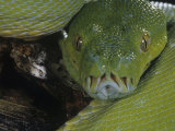 Green Tree Python Showing Pits., Chondropython Viridi, New Guina Photographic Print by Joe & Mary Ann McDonald