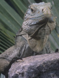 Grand Cayman Blue Iguana, Cyclura Nubila Lewisi, an Endangered Species, Grand Cayman Island Photographic Print by Joe McDonald