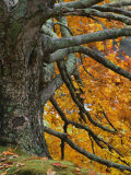Trunk, Branches, and Fall Leaves of a Large Maple(Acer), Eastern USA Photographic Print by Adam Jones