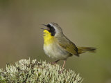 Common Yellowthroat Singing, Geothlypis Trichas, North America Photographic Print by Garth McElroy