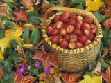 Basket of Harvested Columbia Crabapples Among Fall Leaves, Malus Photographic Print by David Cavagnaro