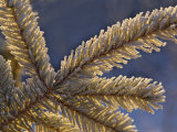 Backlit Frost on Fir Tree, Homer, Alaska Photographic Print by Adam Jones