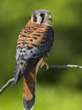 Male American Kestrel (Falco Sparverius), USA Photographic Print by Adam Jones