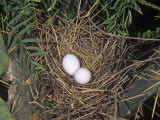 Mourning Dove Nest with Two Eggs, Zenaida Macroura, North America Photographic Print by Charles Melton