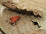 Strawberry Poison Dart Frog, Dendrobates Pumilio Photographic Print by Don Grall
