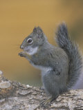 Pine Squirrel Eating (Tamiasciurus Hudsonicus), Colorado, USA Photographie par Russell Wood