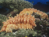 Sea Cucumbers, Thelenota Rabralineata, Fiji, Pacific Ocean Photographic Print by David Fleetham