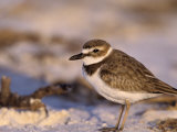 Wilson's Plover, Charadrius Wilsonia, North America Photographic Print by Charles Melton