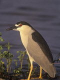 Black-Crowned Night Heron, Nycticorax Nycticorax, North America Photographic Print by Arthur Morris
