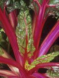 Swiss Chard, Bright Lights Variety Photographic Print by Wally Eberhart
