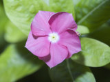 Rosy Periwinkle (Catharanthus Roseus), the Source of an Anti-Cacer Drug Photographie