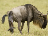 A Wildebeest or Gnu Giving Birth on the Savanna, Connochaetes Taurinus, East Africa Photographic Print by Joe McDonald