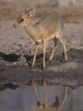 Damara Dik-Dik Alert at a Waterhole, Madoqua Kirkii, Etosha, Namibia, Africa Photographic Print by Charles McRae