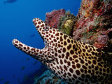 Black-Spotted Moray Gymnothorax Melanospilos Indian Ocean Photographic Print by Reinhard Dirscherl