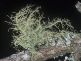 Beard Lichen (Usnea Strigosa) Growing on a Oak Tree Limb, Florida, USA Photographic Print by William Weber
