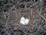 Greater Roadrunner Eggs in the Nest, Geococcyx Californianus, Western USA Photographie par Charles Melton