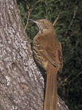 Brown Thrasher, Toxostoma Rufum, North America Papier Photo par Gary Carter