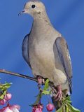 Mourning Dove, Zenaida Macroura, North America Photographic Print by Gary Carter