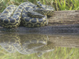 Yellow Anaconda (Eunectes Notaeus), Northern Argentina Photographic Print by Mary Ann McDonald