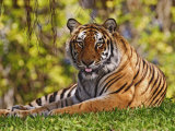 Sittande bengalsk tiger, Panthera tigris, Asien Fotografiskt tryck av Adam Jones