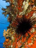 Long-Spined Sea Urchin (Diadema Paucispinum) Among Encrusting Red Sponges, Hawaii, USA Photographic Print by David Fleetham