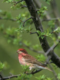 Male Purple Finch, Carpodactus Purpureus, Northeastern USA Photographic Print by John & Barbara Gerlach