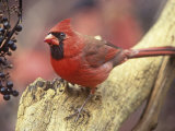Male Northern Cardinal (Cardinalis Cardinalis) Near Wild Grape (Vitis) Berries, Eastern USA Photographic Print by Steve Maslowski