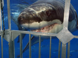Great White Shark Attacking a Shark Cage (Carcharodon Carcharias), Guadalupe Island, Mexico Fotografie-Druck von David Fleetham