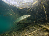 Northern Pike (Esox Lucius), Echinger Weiher Lake, Germany Photographic Print by Reinhard Dirscherl