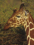 Reticulated Giraffe Head with an Oxpecker Bird, Giraffa Camelopardalis, Kenya, Africa Photographic Print by Joe McDonald