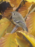 Ruby-Crowned Kinglet (Regulus Calendula), North America Photographic Print by Steve Maslowski
