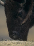Close-Up of a American Bison Grazing, Bison Bison, North America Photographie par Joe McDonald
