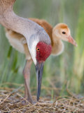 Sandhill Crane Adult and Chick at the Nest, Grus Canadensis, Florida, USA Photographic Print by Arthur Morris