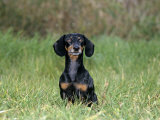 Miniature Daschund Sitting in Grass Photographic Print by Cheryl Ertelt
