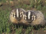 Two American Badger Babies, Taxidea Taxus, Montana, USA Photographic Print by Beth Davidow