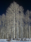 Aspen Clone in the Winter, Populus Tremuloides, Western USA Photographic Print by Doug Sokell