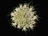 Wild Carrot Flower Photographic Print by Solvin Zankl
