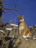 Male Mountain Lion, Cougar, or Puma (Felis Concolor), Western North America Photographic Print by Robert Lindholm