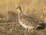Sharp-Tailed Grouse (Tympanuchus Phasianellus) on the Nebraska Tallgrass Prairie, USA Photographie par Tom Walker