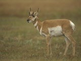 Female Pronghorn, Antilocapra Americana, North American Grasslands Photographic Print by John & Barbara Gerlach